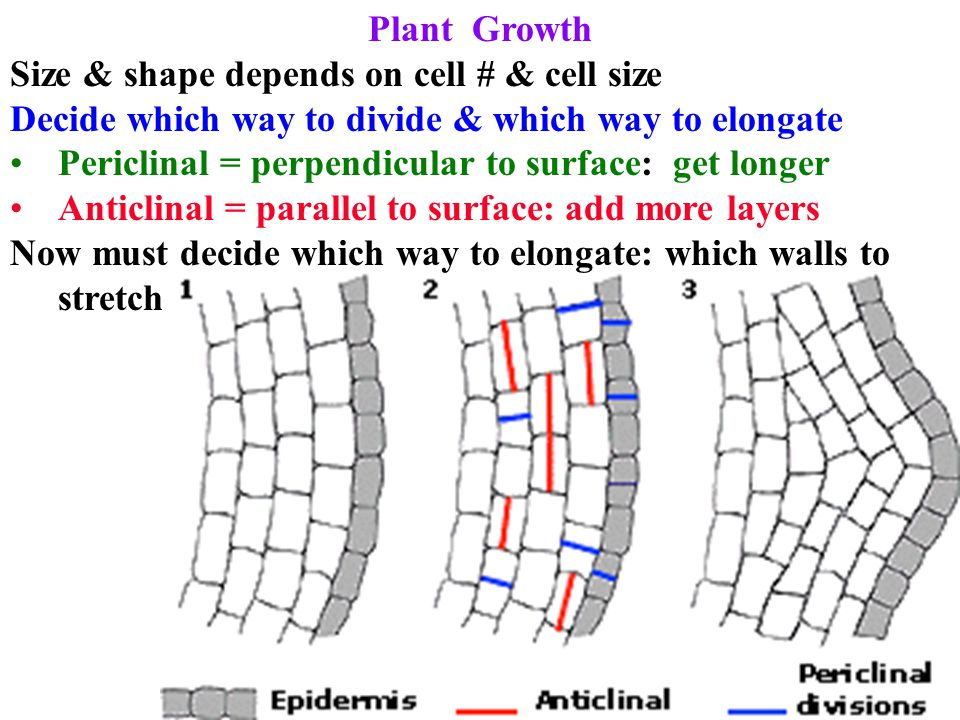 Plant Cell Walls and Growth Carbohydrate barrier surrounding cell Protects & gives cell shape 1˚ wall made first mainly cellulose Can stretch.