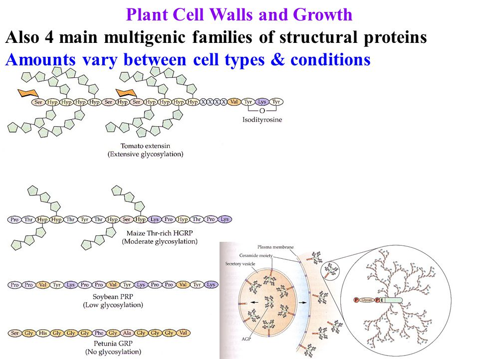 Plant Cell Walls and Growth Also 4 main multigenic families of structural proteins Amounts vary between cell types & conditions