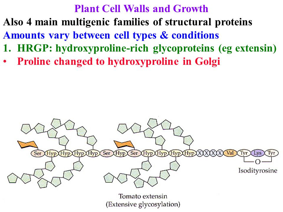 Plant Cell Walls and Growth Also 4 main multigenic families of structural proteins Amounts vary between cell types & conditions 1.HRGP: hydroxyproline
