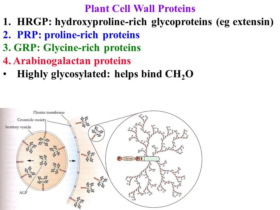 Plant Cell Wall Proteins 1.HRGP: hydroxyproline-rich glycoproteins (eg extensin) 2.PRP: proline-rich proteins 3. GRP: Glycine-rich proteins 4. Arabino