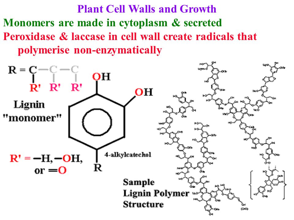 Plant Cell Walls and Growth Monomers are made in cytoplasm & secreted Peroxidase & laccase in cell wall create radicals that polymerise non-enzymatica