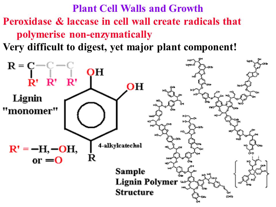 Plant Cell Walls and Growth Peroxidase & laccase in cell wall create radicals that polymerise non-enzymatically Very difficult to digest, yet major pl
