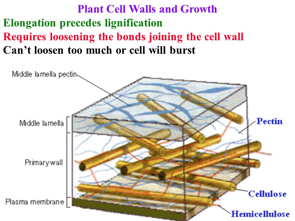 Plant Cell Walls and Growth Elongation precedes lignification Requires loosening the bonds joining the cell wall Can't loosen too much or cell will bu