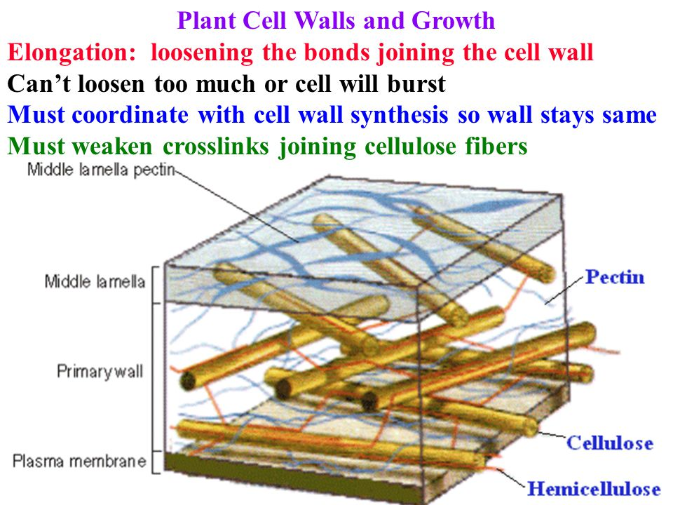 Plant Cell Walls and Growth Elongation: loosening the bonds joining the cell wall Can't loosen too much or cell will burst Must coordinate with cell w
