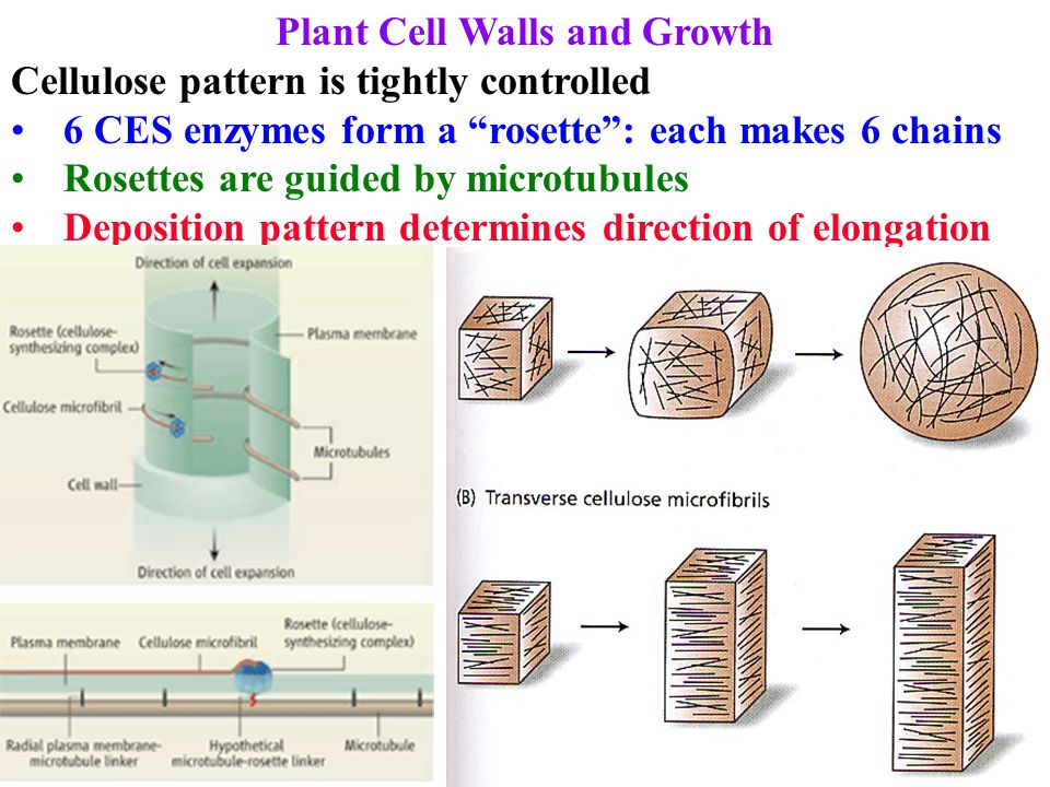 Plant Cell Walls and Growth New fibers are perpendicular to growth direction, yet fibers form a mesh Multinet hypothesis: fibers reorient as cell elongates Old fibers are anchored so gradually shift as cell grows