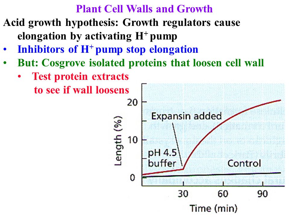 Plant Cell Walls and Growth Acid growth hypothesis: Growth regulators cause elongation by activating H + pump Inhibitors of H + pump stop elongation B