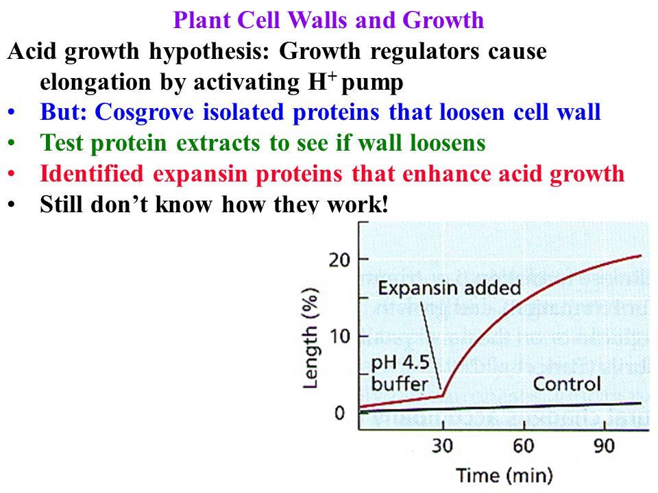 Plant Cell Walls and Growth Acid growth hypothesis: Growth regulators cause elongation by activating H + pump But: Cosgrove isolated proteins that loo