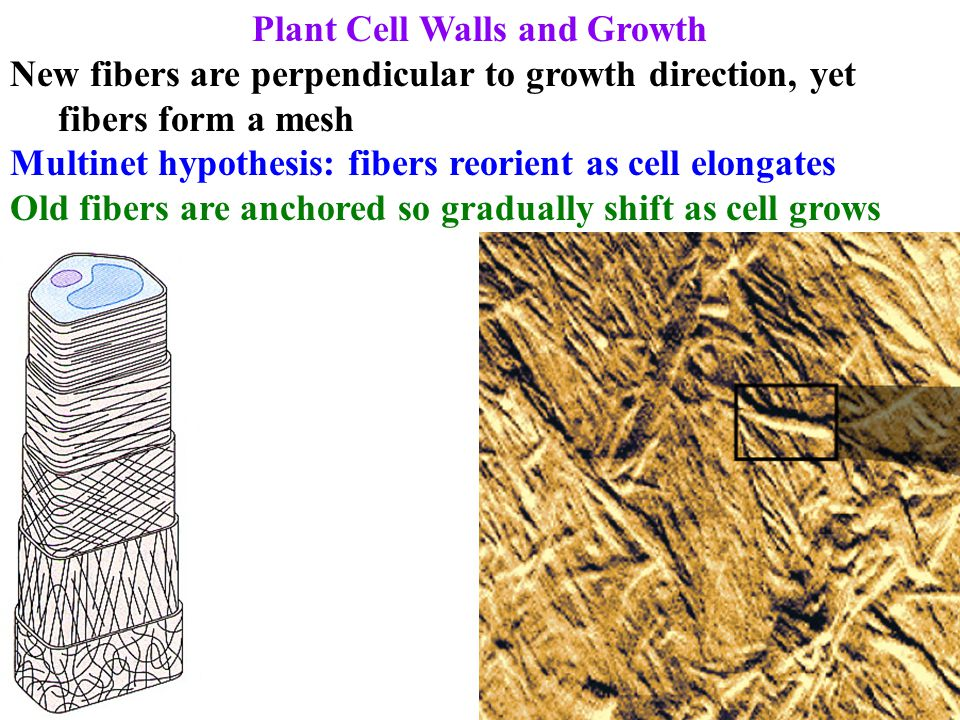 Plant Cell Walls and Growth Elongation precedes lignification Requires loosening the bonds joining the cell wall Can't loosen too much or cell will burst