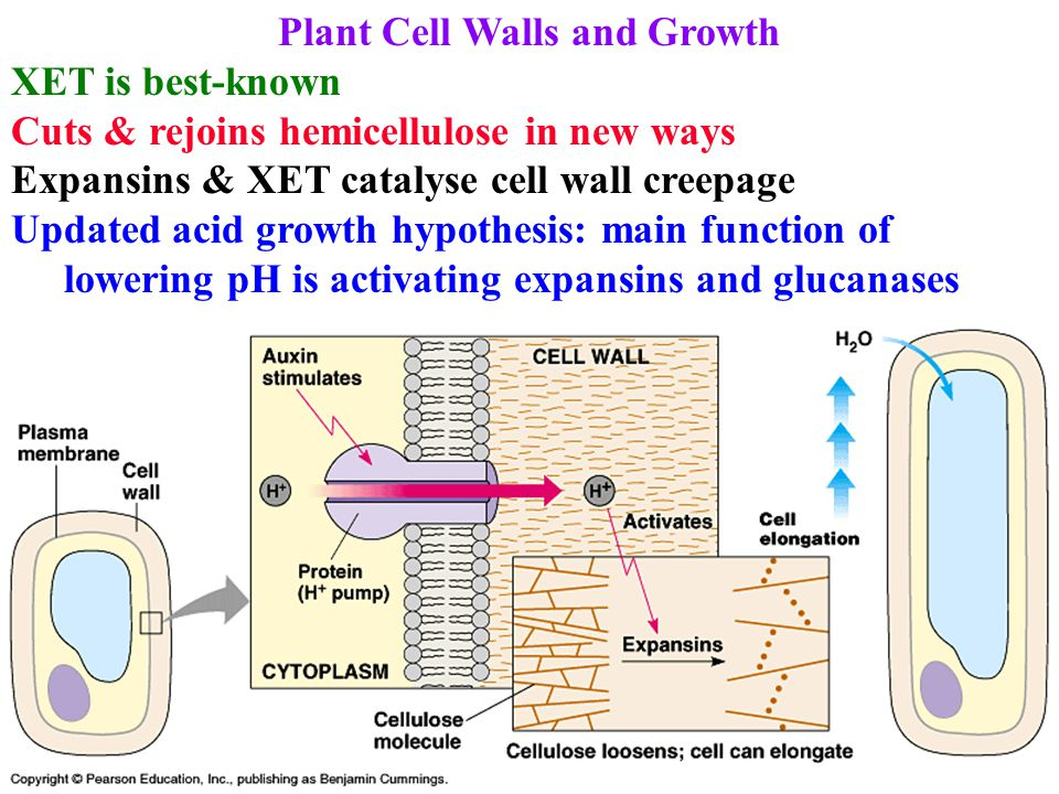 Plant Cell Walls and Growth XET is best-known Cuts & rejoins hemicellulose in new ways Expansins & XET catalyse cell wall creepage Updated acid growth