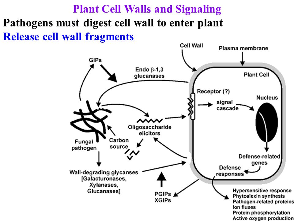 Plant Cell Walls and Signaling Pathogens must digest cell wall to enter plant Release cell wall fragments