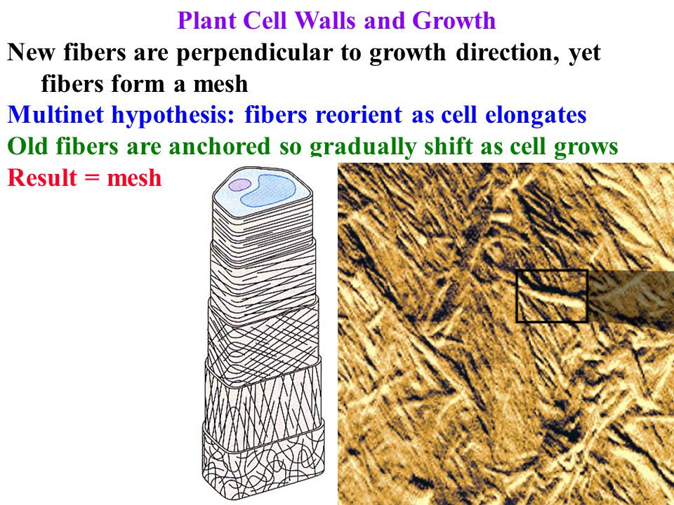 Plant Cell Wall Proteins 1.HRGP: hydroxyproline-rich glycoproteins (eg extensin) 2.PRP: proline-rich proteins Low glycosylation = little interaction with CH 2 O Common in xylem, fibers, cortex