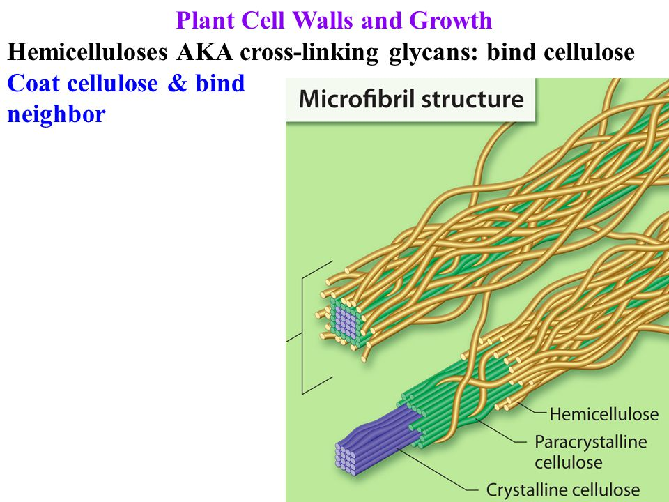 Plant Cell Walls and Growth Lignins = polyphenolic macromolecules: 2 nd most abundant on earth (after cellulose) Bond hemicellulose: solidify & protect cell wall (nature's cement): very difficult to digest