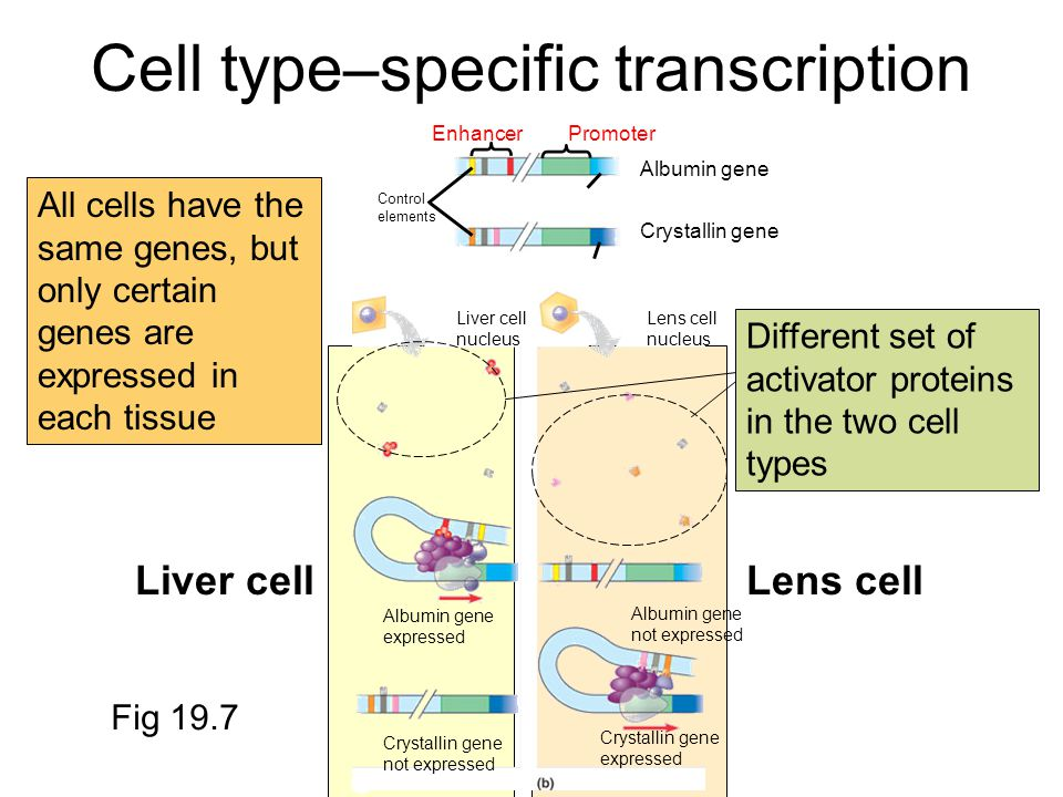 Cell type–specific transcription EnhancerPromoter Control elements Albumin gene Crystallin gene Liver cell nucleus Lens cell nucleus Albumin gene expressed Albumin gene not expressed Crystallin gene not expressed Crystallin gene expressed Liver cellLens cell Fig 19.7 All cells have the same genes, but only certain genes are expressed in each tissue Different set of activator proteins in the two cell types