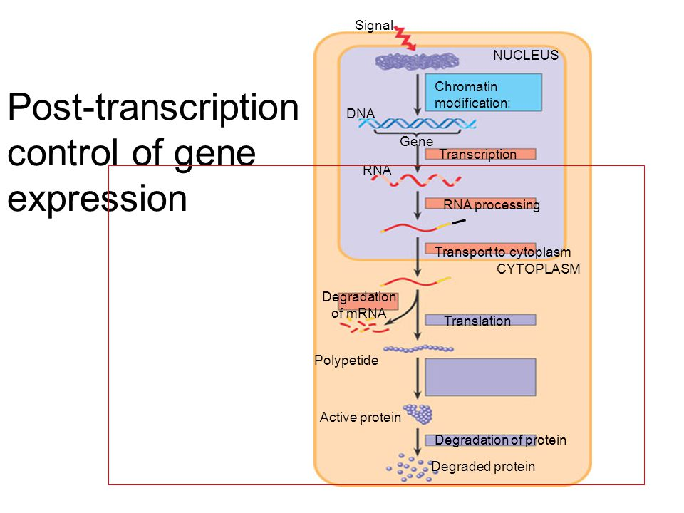 Signal NUCLEUS Chromatin modification: Gene DNA RNA Transcription RNA processing Transport to cytoplasm CYTOPLASM Degradation of mRNA Translation Polypetide Active protein Degradation of protein Degraded protein Post-transcription control of gene expression