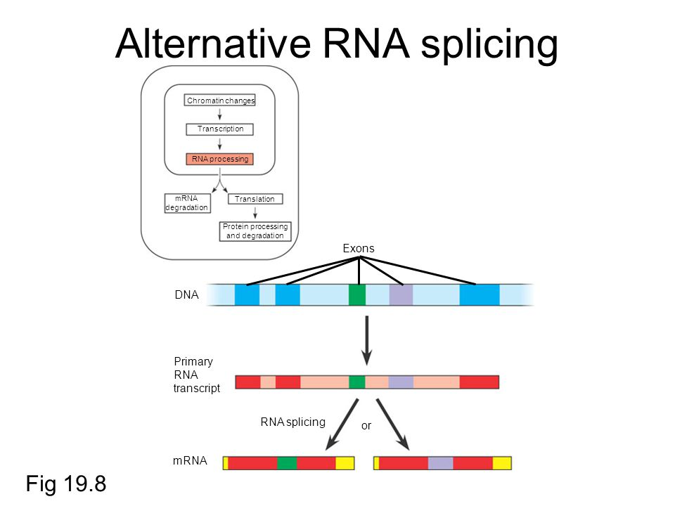 Alternative RNA splicing Chromatin changes Transcription RNA processing mRNA degradation Translation Protein processing and degradation Exons DNA Primary RNA transcript mRNA RNA splicing or Fig 19.8