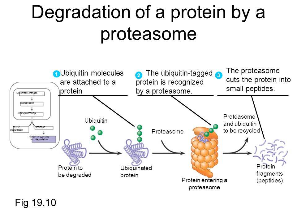Degradation of a protein by a proteasome Chromatin changes Transcription RNA processing mRNA degradation Translation Protein processing and degradation Ubiquitin Protein to be degraded Ubiquinated protein Proteasome and ubiquitin to be recycled Protein fragments (peptides) Ubiquitin molecules are attached to a protein 1 The ubiquitin-tagged protein is recognized by a proteasome.