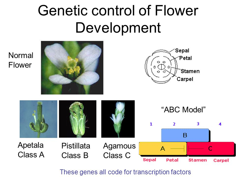 Genetic control of Flower Development Apetala Class A Agamous Class C Pistillata Class B ABC Model These genes all code for transcription factors Normal Flower