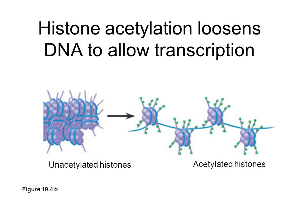 Histone acetylation loosens DNA to allow transcription Figure 19.4 b Unacetylated histones Acetylated histones