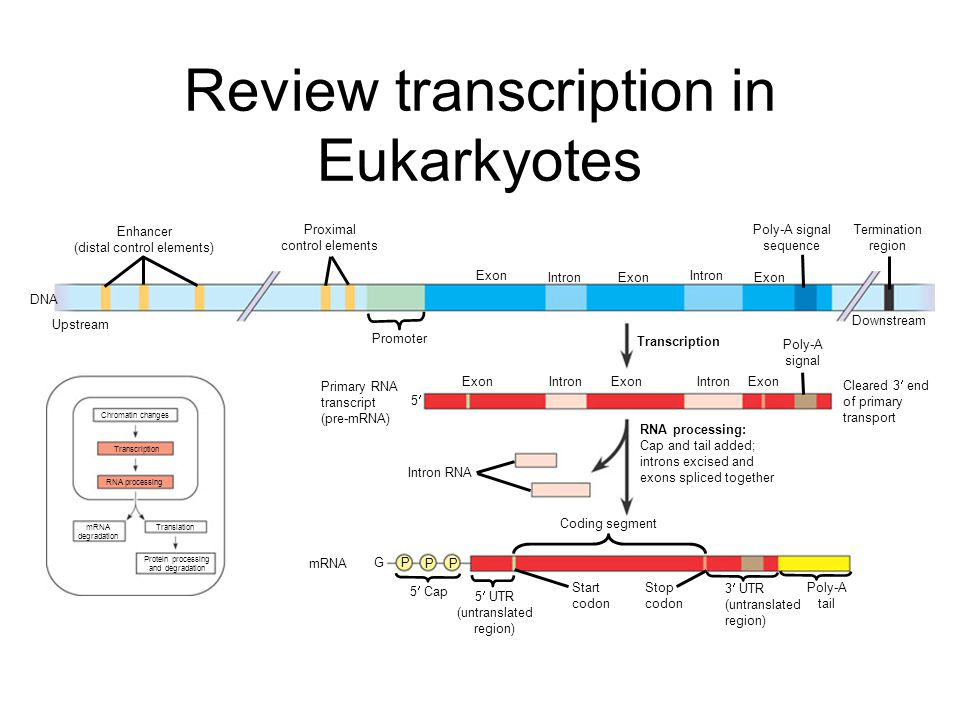 Review transcription in Eukarkyotes Enhancer (distal control elements) Proximal control elements DNA Upstream Promoter Exon IntronExon Intron Poly-A signal sequence Exon Termination region Transcription Downstream Poly-A signal ExonIntron Exon IntronExon Primary RNA transcript (pre-mRNA) 5 Intron RNA RNA processing: Cap and tail added; introns excised and exons spliced together Coding segment P P P G mRNA 5 Cap 5 UTR (untranslated region) Start codon Stop codon 3 UTR (untranslated region) Poly-A tail Chromatin changes Transcription RNA processing mRNA degradation Translation Protein processing and degradation Cleared 3 end of primary transport