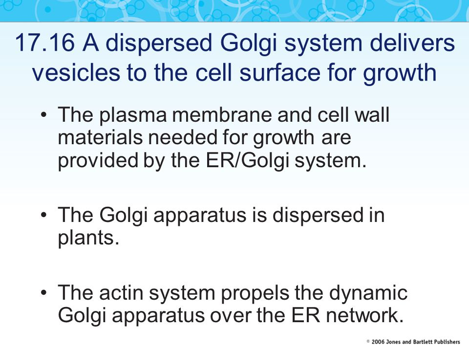 17.16 A dispersed Golgi system delivers vesicles to the cell surface for growth The plasma membrane and cell wall materials needed for growth are prov