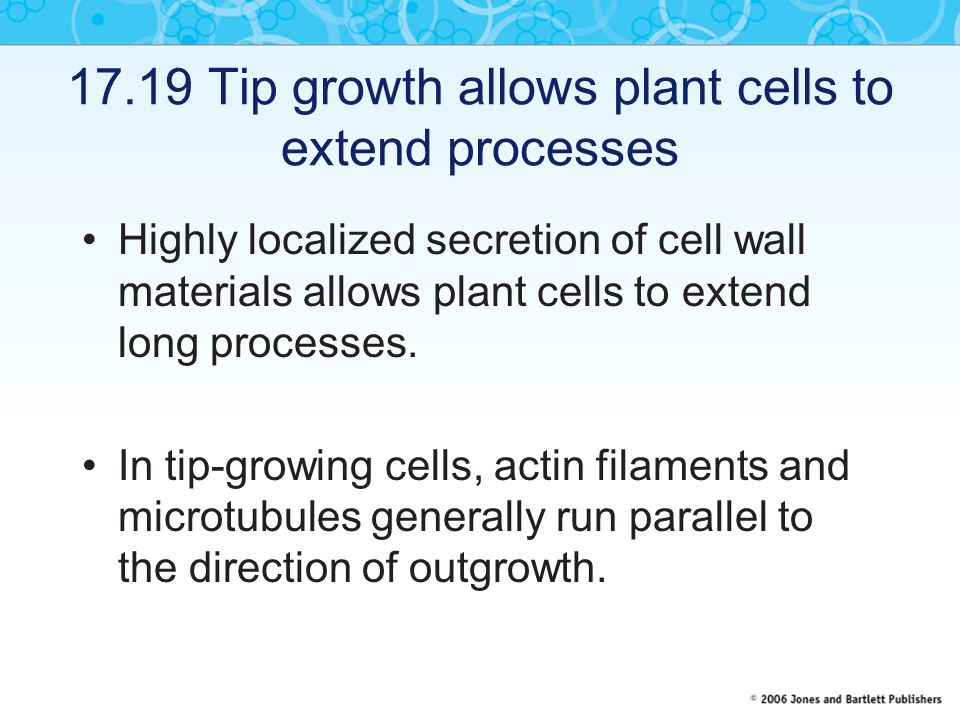 17.19 Tip growth allows plant cells to extend processes Highly localized secretion of cell wall materials allows plant cells to extend long processes.