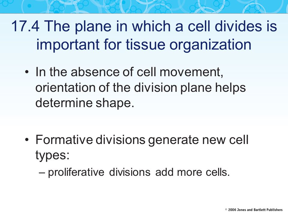 17.5 Cytoplasmic structures predict the plane of cell division before mitosis begins The plane of cell division is predicted before mitosis by a ring of microtubules and actin filaments around the cortex.