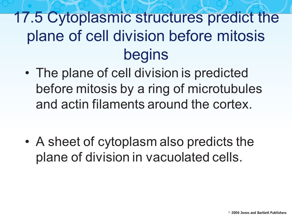 17.5 Cytoplasmic structures predict the plane of cell division before mitosis begins The plane of cell division is predicted before mitosis by a ring