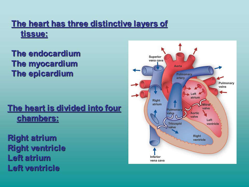 The heart has three distinctive layers of tissue: The endocardium The myocardium The epicardium The heart is divided into four chambers: Right atrium