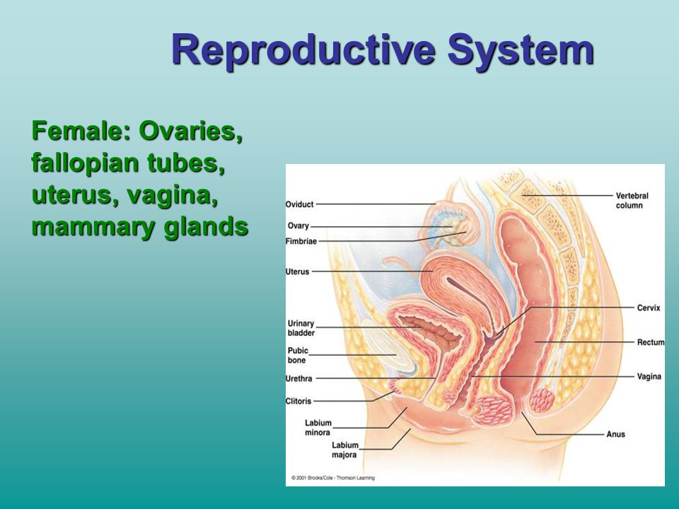 Reproductive System Female: Ovaries, fallopian tubes, uterus, vagina, mammary glands