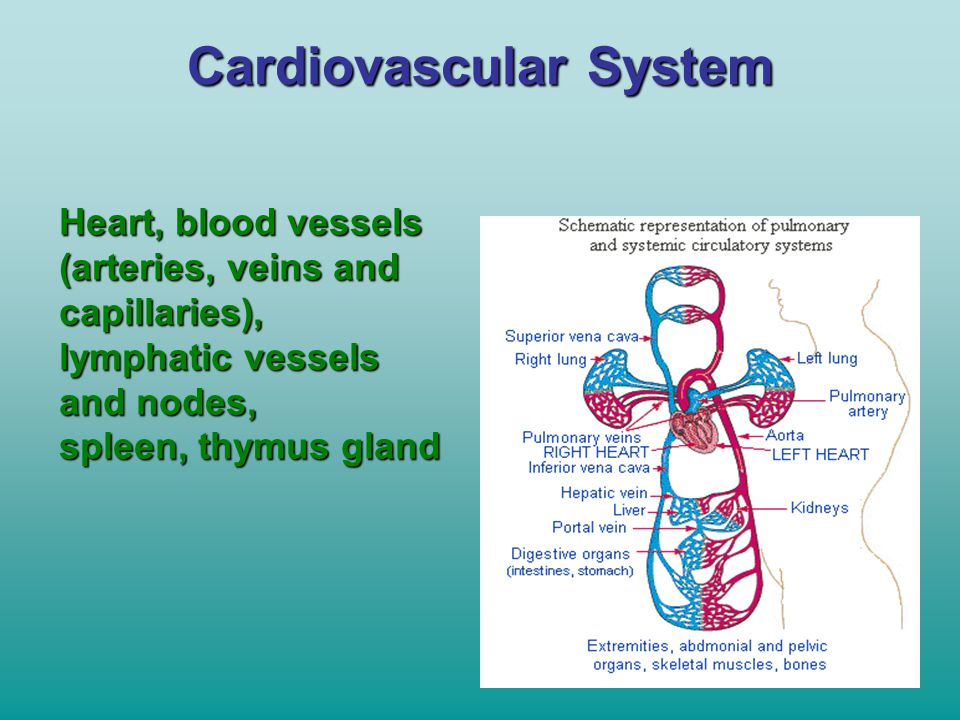 Cardiovascular System Heart, blood vessels (arteries, veins and capillaries), lymphatic vessels and nodes, spleen, thymus gland