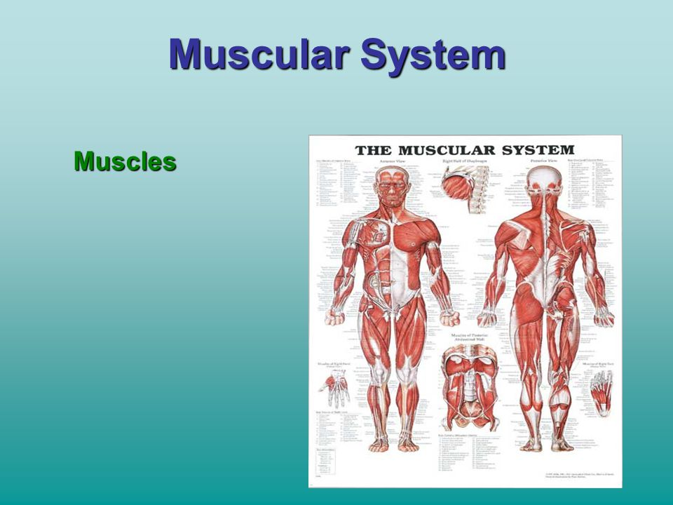 Muscular System Muscles
