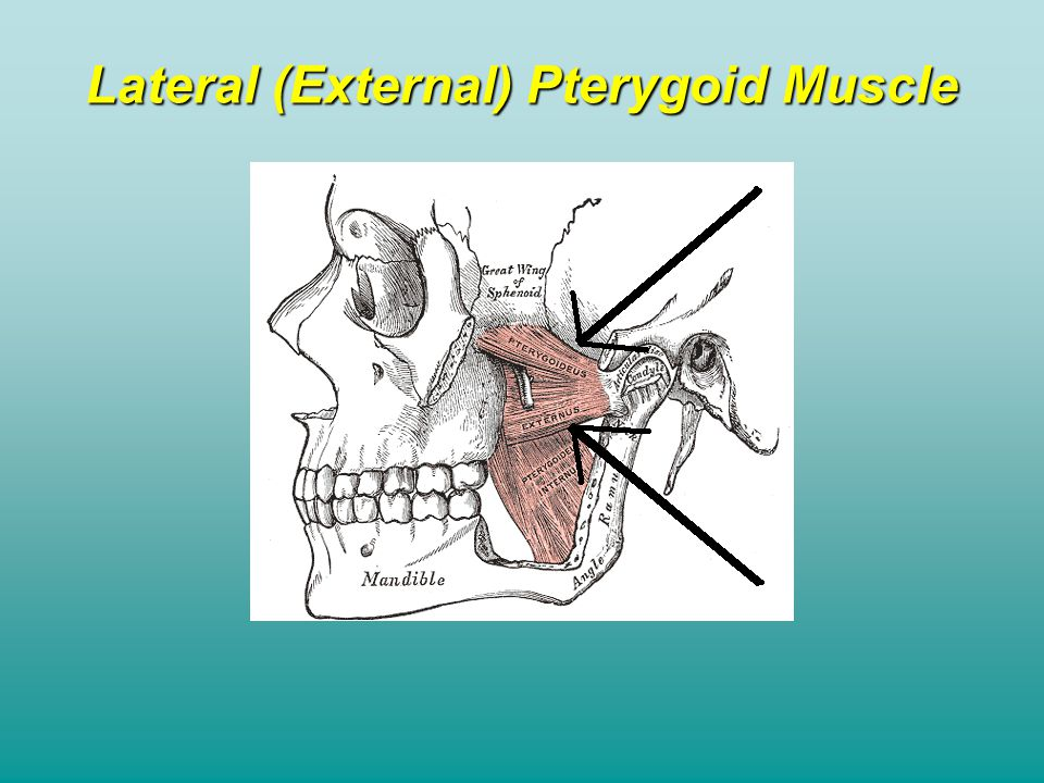 Lateral (External) Pterygoid Muscle