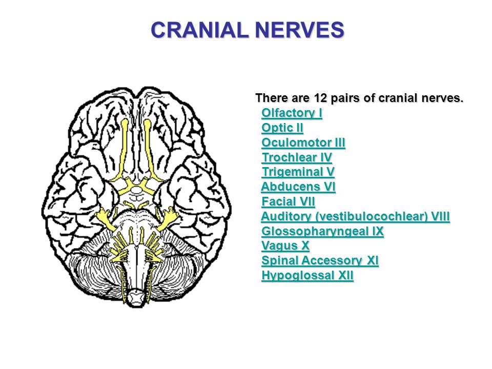 CRANIAL NERVES There are 12 pairs of cranial nerves. Olfactory I Optic II Oculomotor III Trochlear IV Trigeminal V Abducens VI Facial VII Auditory (ve