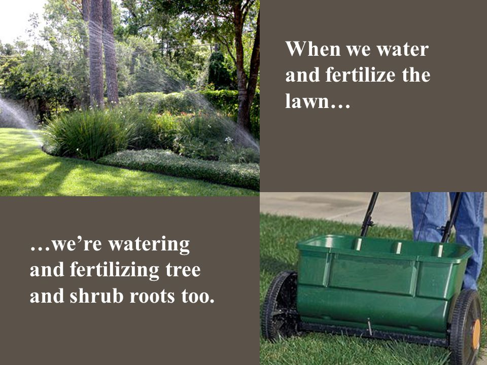 When we water and fertilize the lawn… …we're watering and fertilizing tree and shrub roots too.