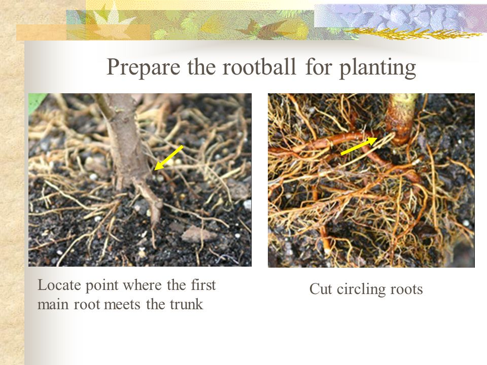 Locate point where the first main root meets the trunk Cut circling roots Prepare the rootball for planting