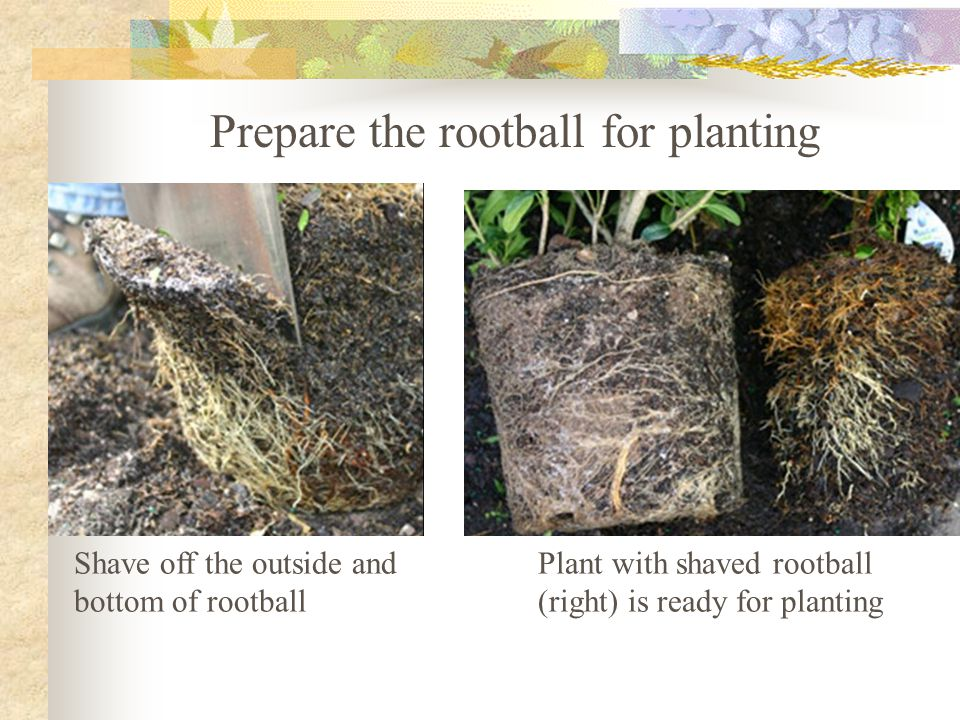 Shave off the outside and bottom of rootball Plant with shaved rootball (right) is ready for planting Prepare the rootball for planting