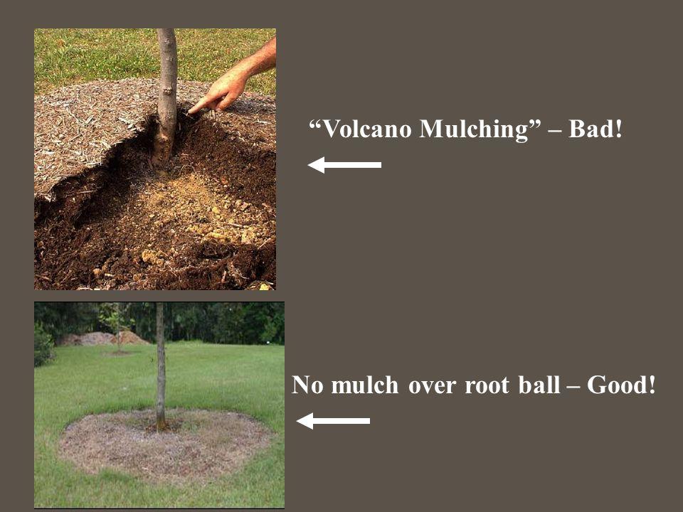 """Volcano Mulching"" – Bad! No mulch over root ball – Good!"