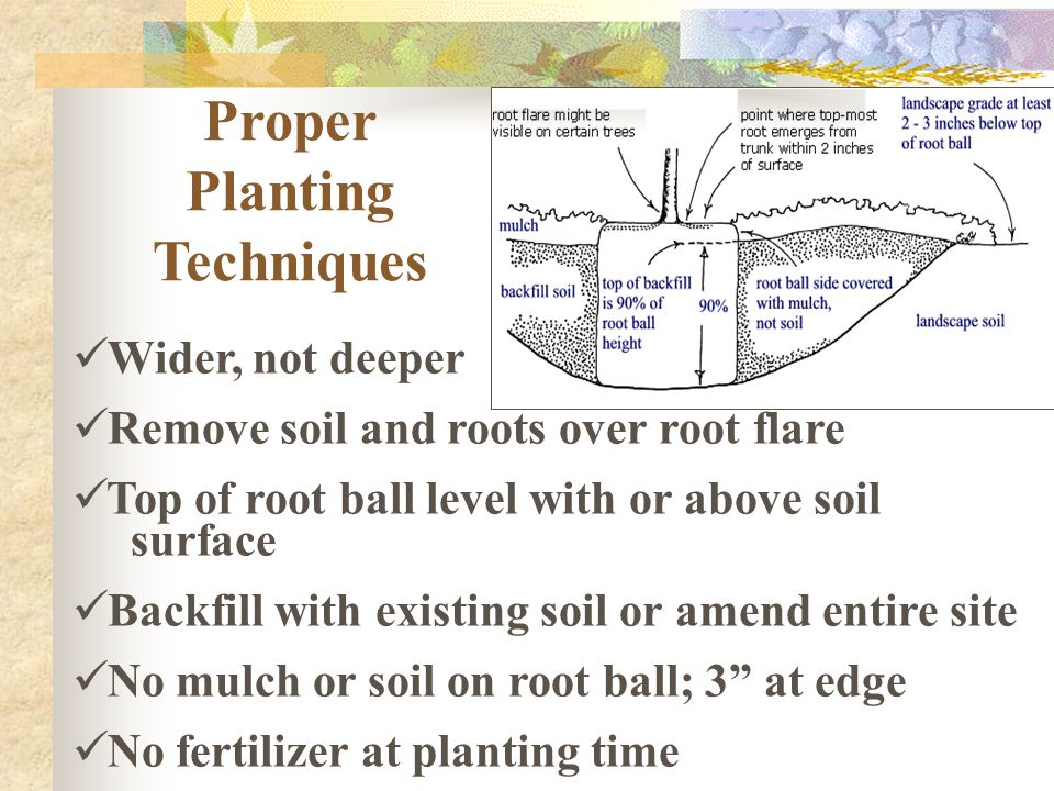 Proper Planting Techniques Wider, not deeper Remove soil and roots over root flare Top of root ball level with or above soil surface Backfill with exi