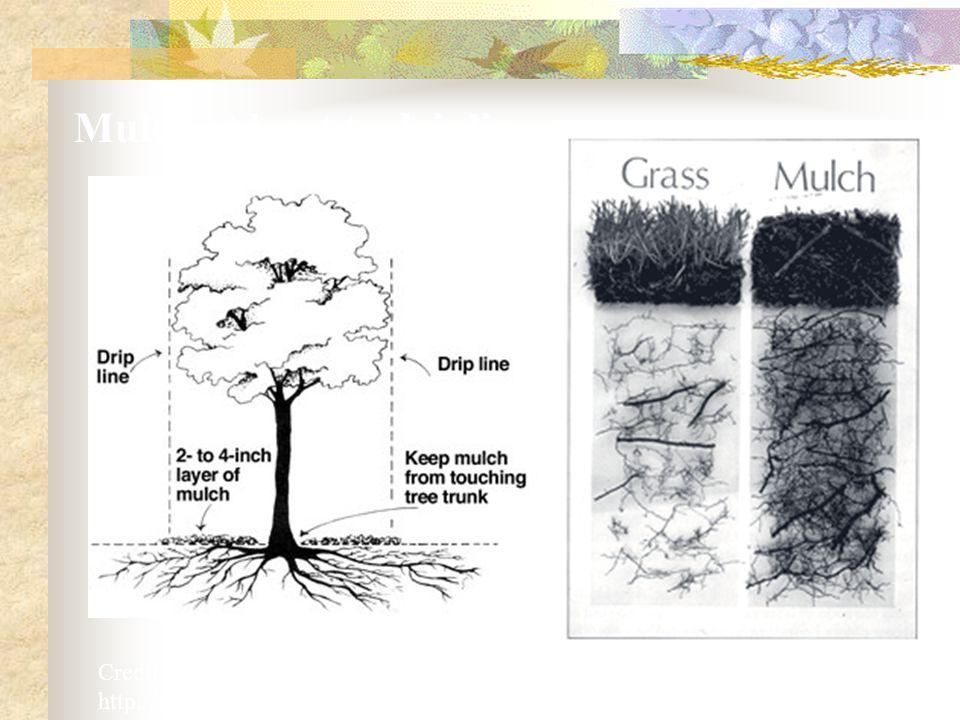 Credit: ISA – International Society of Arboriculture http://www.treesaregood.com/treecare/ Mulch at least to dripline