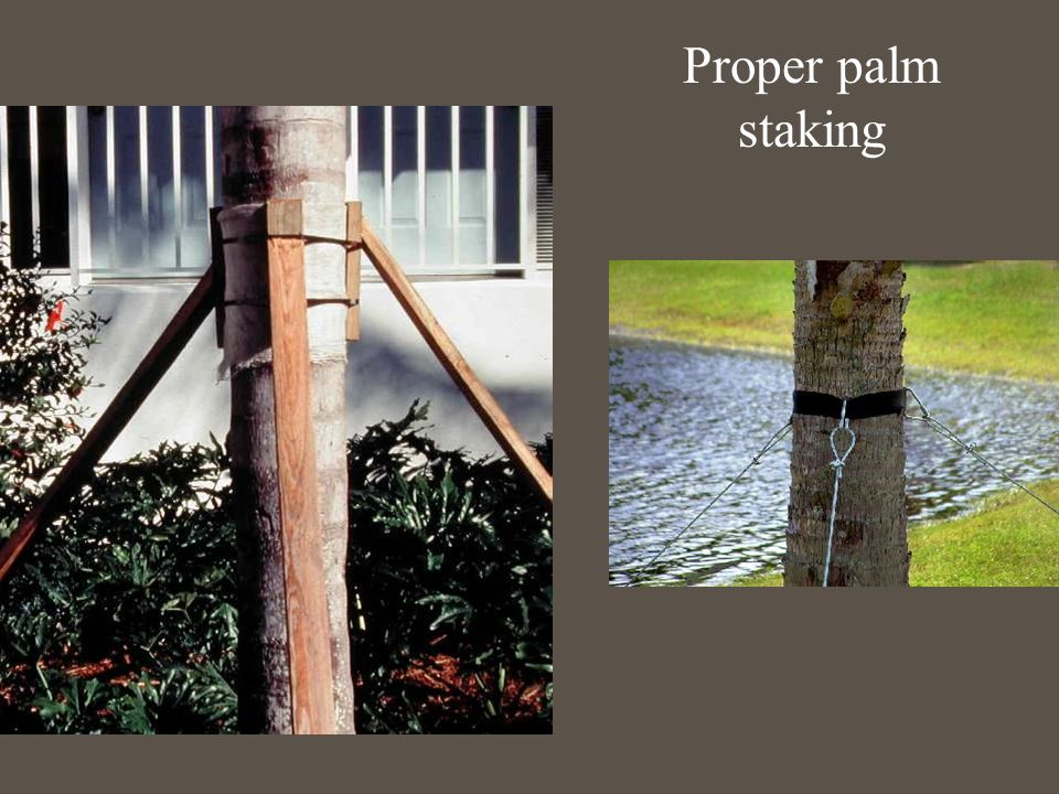 Proper palm staking