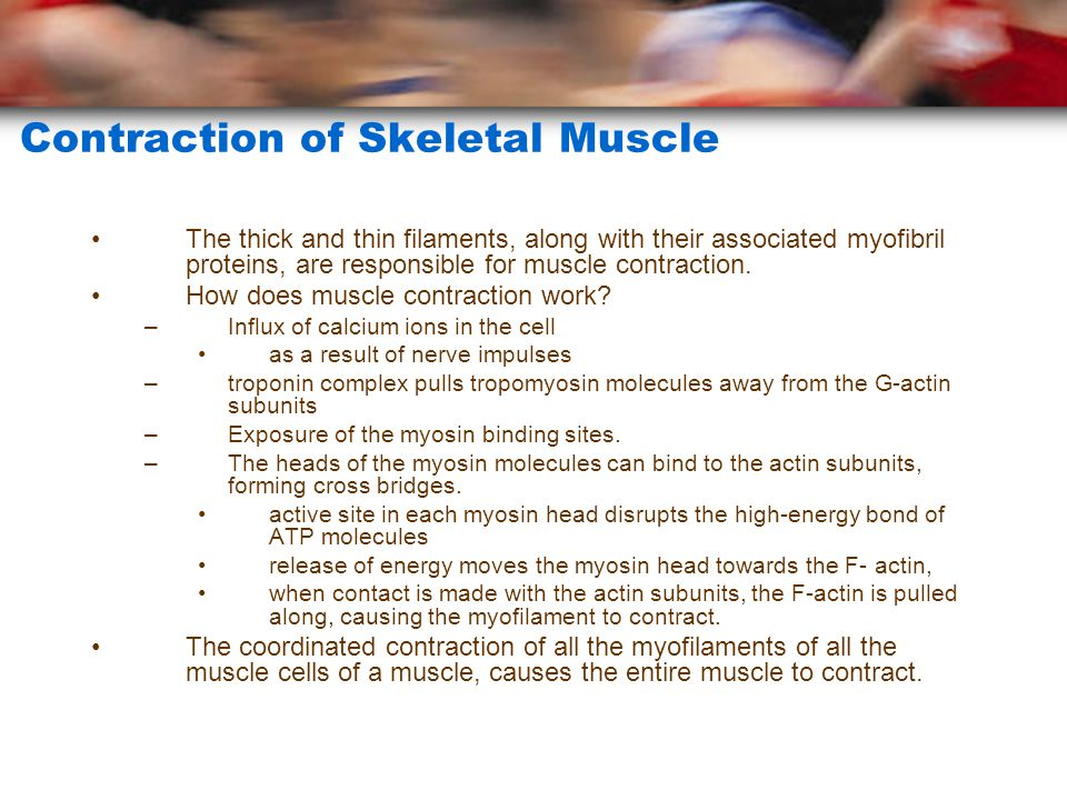 Contraction of Skeletal Muscle The thick and thin filaments, along with their associated myofibril proteins, are responsible for muscle contraction.