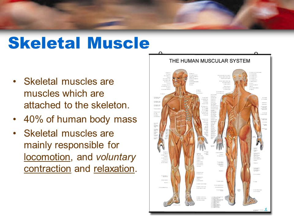 Skeletal Muscle Skeletal muscles are muscles which are attached to the skeleton.