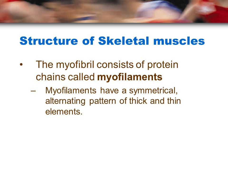 Structure of Skeletal muscles The myofibril consists of protein chains called myofilaments –Myofilaments have a symmetrical, alternating pattern of thick and thin elements.