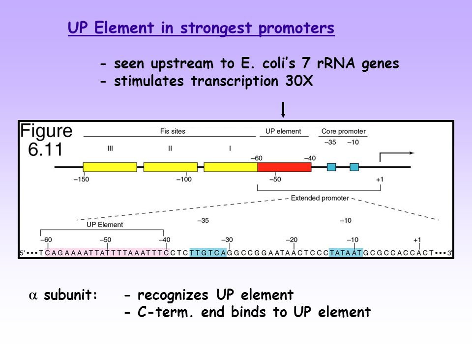  subunit: - recognizes UP element - C-term.