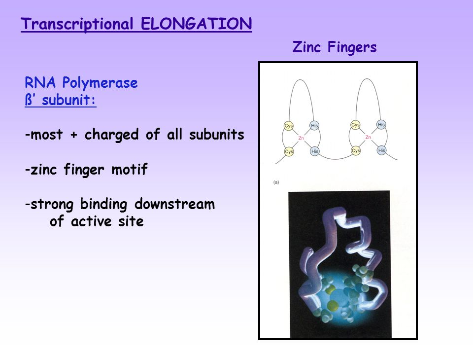 RNA Polymerase ß' subunit: -most + charged of all subunits -zinc finger motif -strong binding downstream of active site Transcriptional ELONGATION Zinc Fingers