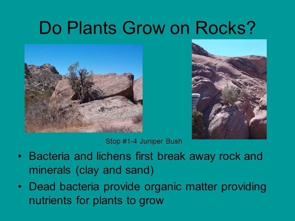 Bacteria and lichens first break away rock and minerals (clay and sand) Dead bacteria provide organic matter providing nutrients for plants to grow Do Plants Grow on Rocks.