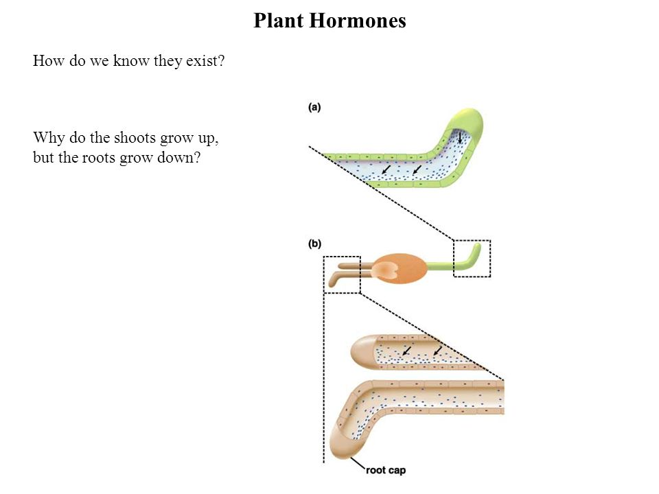 Plant Hormones How do we know they exist Why do the shoots grow up, but the roots grow down