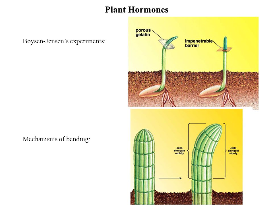 Plant Hormones Boysen-Jensen's experiments: Mechanisms of bending: