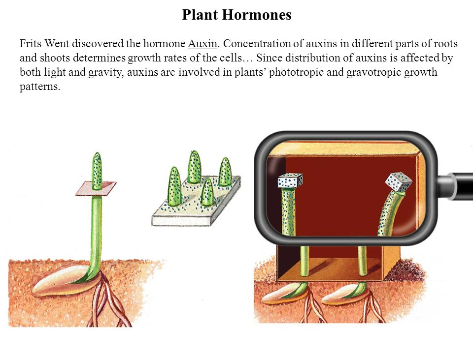 Plant Hormones Major plant hormones and their action: Abscisic acidclosing of stomata; seed dormancy Auxinselongation of shoots and roots, gravotropism, phototropism Cytokininspromotion of sprouting of lateral buds Ethyleneripening of fruit Gibberellinsgermination of seeds and sprouting of buds; elongation of stems; stimulation of flowering; development of fruit