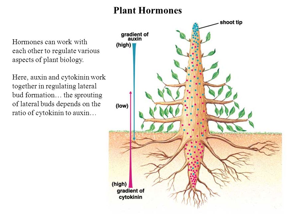 Plant Hormones Hormones can work with each other to regulate various aspects of plant biology.